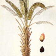 African Oil Palm Art Print
