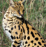 African Serval In Ngorongoro Conservation Area Art Print