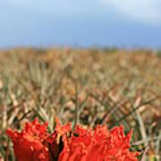 African Tulip Blossom Over Pineapple Field Aloha Makawao Art Print