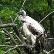 African Vulture Art Print