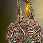 Weaver Nest Art Print