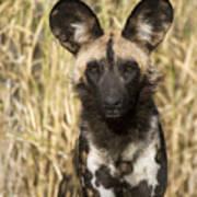 African Wild Dog Okavango Delta Botswana Art Print