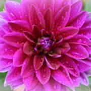 After The Rain - Purple Dahlia Art Print