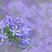 Agapantha Lilac Pastel By Kaye Menner Art Print
