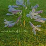 Agapanthus Dawn Art Print