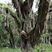 Aging Oak Tree Art Print