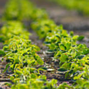 Agriculture- Soybeans 1 Art Print