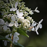 Ailanthus Webworm Moth 2 Art Print