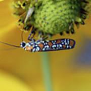 Ailanthus Webworm Moth #6 Art Print