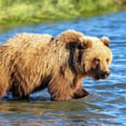 Alaska Bear Art Print