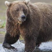 Alaska Brown Bear Upclose Art Print