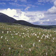 Alaska Cotton Eriophorum Scheuchzeri Art Print