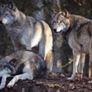 Alaska Wolf Trio Art Print