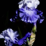 Alaskan Seas Iris  Art Print