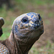 Aldabra Giant Tortoise's Portrait Art Print