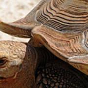 Aldabra Tortoise Art Print