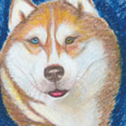 Alek The Siberian Husky Art Print