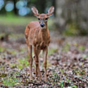 Alert Fawn Deer In Shiloh National Military Park Tennessee Art Print