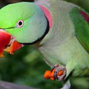 Alexandrine Parrot Feeding Art Print