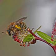 Alfalfa Bee Art Print