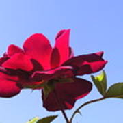 All About Roses And Blue Skies Viii Art Print