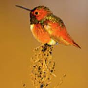 Allen's Hummingbird II Art Print