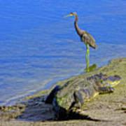 Alligator And Blue Heron Art Print