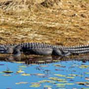 Alligator In The Sun Art Print