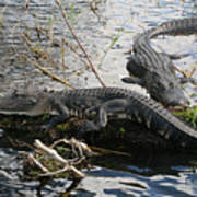 Alligators In An Everglades Swamp Art Print