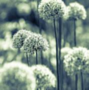 Allium 3 Art Print