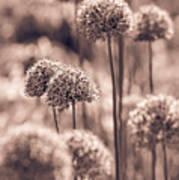 Allium 4 Art Print
