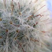 Allium Sativum Art Print