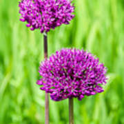 Alliums Art Print