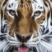 Alluring Tiger Art Print by Jeff Swanson