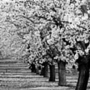 Springtime In The Almond Fields Art Print