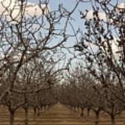Almond Orchard Art Print by Denice Breaux