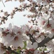 Almond Spring Blossoms Art Print