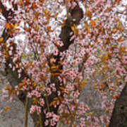 Almond Tree Flowers 05 Art Print