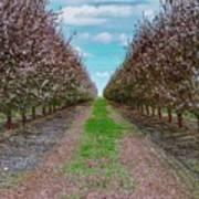 Almond Trees Of Button Willow Art Print