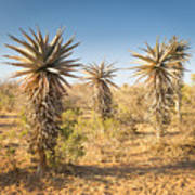 Aloe Vera Trees Botswana Art Print