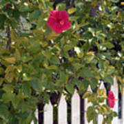 Along The Picket Fence Art Print