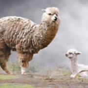 Alpacas Mum And Baby Art Print