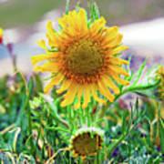 Alpine Sunflower In Summer Art Print