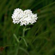 Alpine Yarrow Wildflower 1 Art Print