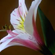 Alstroemeria - Responding Art Print