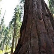 Alta Vista Giant Sequoia Art Print