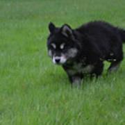 Alusky Puppy Creeping Through Green Grass Art Print