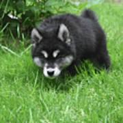 Alusky Puppy Stalking Through Tall Green Grass Art Print