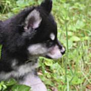 Alusky Puppy Tip Toeing Through Green Foliage Art Print