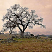 Amador Oak Art Print